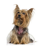Dressed Yorkshire Terrier looking up (5 years old) Royalty Free Stock Image
