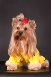 Dressed yorkshire terrier sits Royalty Free Stock Photos