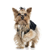 Dressed Yorkshire Terrier (5.5 years old) Stock Photos