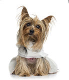 Dressed Yorkshire Terrier (5 years old) Stock Photography