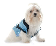 Dressed young maltese dog Stock Photos