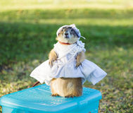Dressing on prairie dog Royalty Free Stock Photos