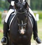 Dressurreitenpferd Stockbild