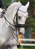 Dressuur: portret van grijs paard Stock Foto