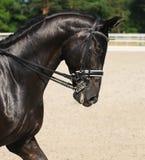 Dressuur: portret van zwart paard Stock Afbeelding