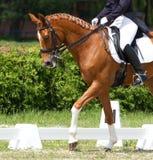 Dressuurpaard Royalty-vrije Stock Foto