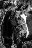 Dressuurpaard headshot Royalty-vrije Stock Afbeelding