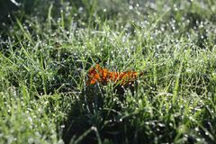 Drew in grass. Autumn leaf and mystical dew in grass Royalty Free Stock Photos