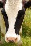 drewling的母牛 免版税库存照片