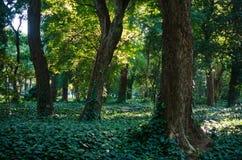 Drewna lasowy tło w naturze zakrywającej z zielonymi roślinami obraz royalty free