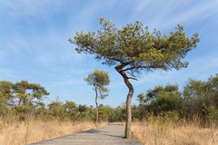 Drewniana ścieżka dla wycieczkowiczy w lesie z sosnami Obraz Stock