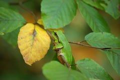 Drewniana żaba na gałąź buk Fotografia Stock