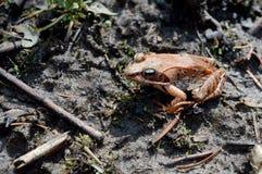 Drewniana żaba - Lithobates sylvaticus Fotografia Royalty Free