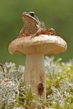 Drewniana żaba (Rana sylvatica) Zdjęcie Stock