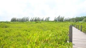 Drewniana długa brigde droga przemian przy Złotym mangrowe polem w Pak Nam Prasae w Rayong zdjęcie wideo
