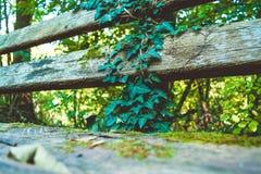 Drewniana i stara ławka od desek w lesie z fryzowanie bluszczem fotografia stock