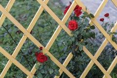 Drewniana kratownica z czerwonymi różami zdjęcia stock
