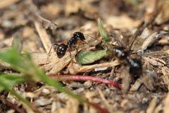 Drewniana mrówka Fotografia Stock