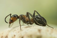 Drewniana mrówka, mrówka, mrówki, Formica rufa Zdjęcie Stock