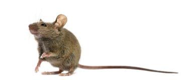 Drewniana mysz zdjęcia stock