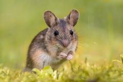 Drewniana mysz na zielonym tle fotografia royalty free