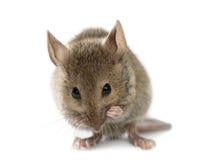 Drewniana mysz ono czyści fotografia stock