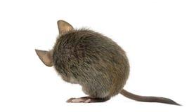 Drewniana mysz ono czyści zdjęcia royalty free