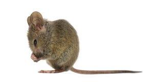 Drewniana mysz ono czyści obraz royalty free