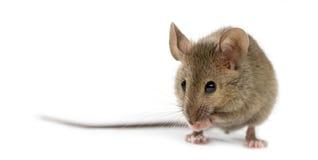 Drewniana mysz ono czyści Fotografia Royalty Free