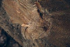 Drewniana tekstura i tło Rżnięta drzewnego bagażnika tekstura Makro- widok rżnięta drzewnego bagażnika tekstura i tło Obrazy Stock