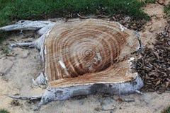 Drewniana tekstura i tło zbliżenie drzewnego bagażnika barkentyny tekstura z gałąź cięcia puszkiem Fotografia Royalty Free