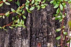 Drewniana tekstura z zielonymi liśćmi Fotografia Stock