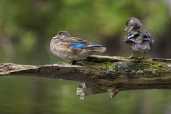 Drewniane kaczki Zdjęcia Royalty Free