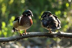 Drewniane kaczki Obrazy Stock
