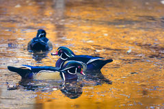 Drewniane kaczki na Złotym jesień stawie Zdjęcie Stock