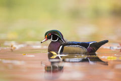 Drewnianej kaczki kaczor Zdjęcie Royalty Free