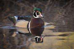 Drewnianej kaczki kaczor Obrazy Royalty Free