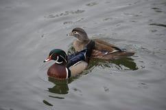 Drewnianej kaczki karmazynka w wodzie i kaczor Obraz Royalty Free