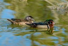 Drewnianej kaczki kotelni pary dopłynięcie w jeziorze fotografia royalty free