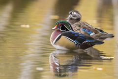 Drewnianej kaczki para Zdjęcie Stock