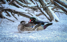 Drewnianej kaczki para Fotografia Stock