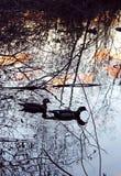Drewnianej kaczki para Zdjęcie Royalty Free