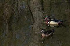 Drewnianej kaczki para na ciemnej powierzchni Brooklyn perspektywy parka staw obraz royalty free
