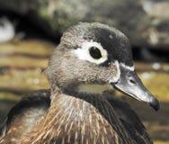 Drewnianej kaczki profil (kobieta) obrazy royalty free