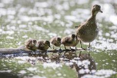 Drewnianej kaczki rodzina Zdjęcia Royalty Free