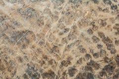 Drewnianej tekstury prawdziwy stary dąb szorstki drewno no jest jednolity Zdjęcia Stock
