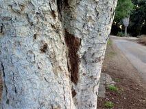 Drewnianej tekstury rżnięty drzewny bagażnik Obrazy Royalty Free
