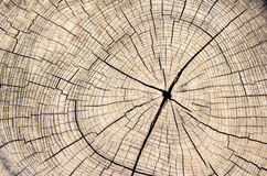 Drewnianej tekstury rżnięty drzewny bagażnik Obrazy Stock
