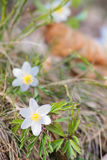 Drewniani anemony lub Windflowers podczas wiosny fotografia royalty free