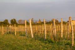 Drewniani słupy z nadużytym metalu drutem wspierają winnicę Młodzi liście na starym francuskim winogradzie zaświecali wieczór świ obrazy stock